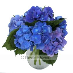 Betty Blu (Hydrangea)  Priced from $ 90  Click for more details